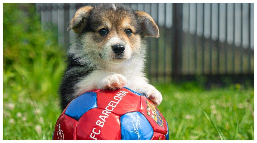 pies na boisku