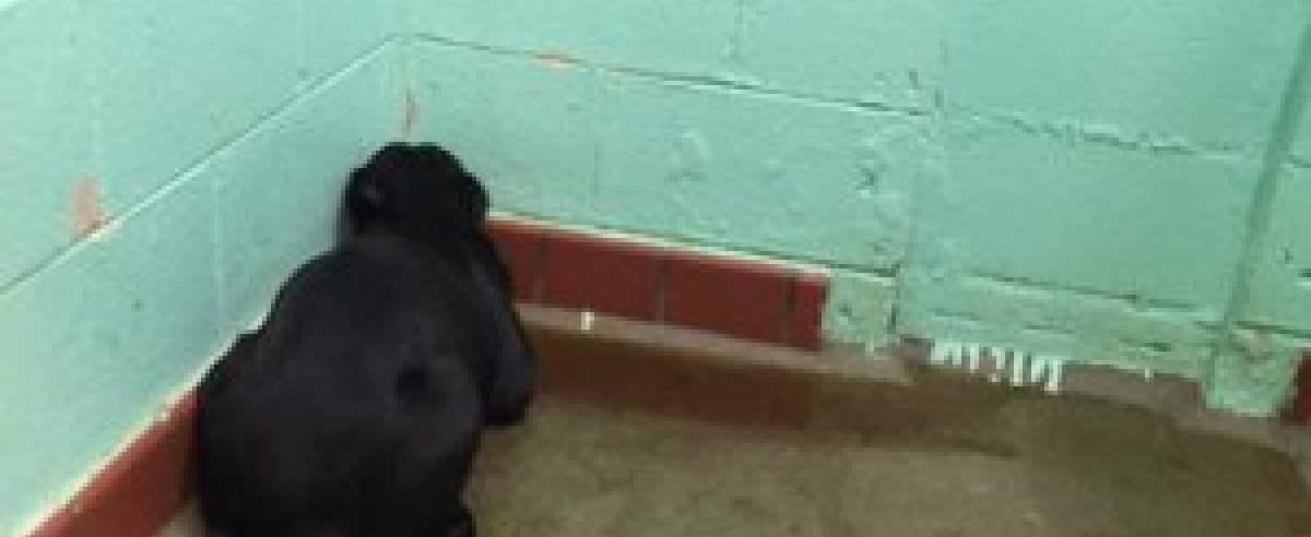 labrador patrzy w ściane