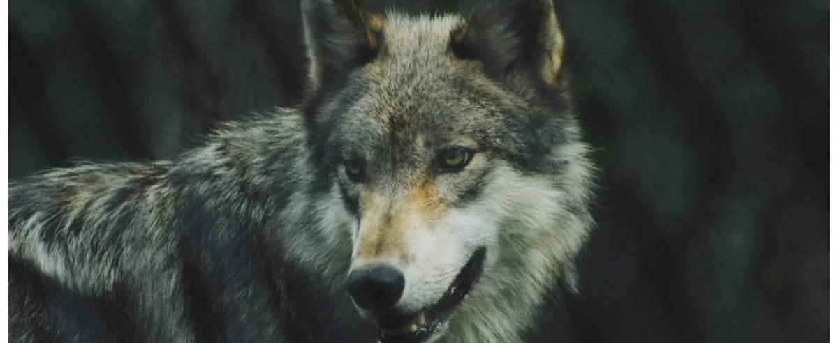Zdjęcie podglądowe  - wilk