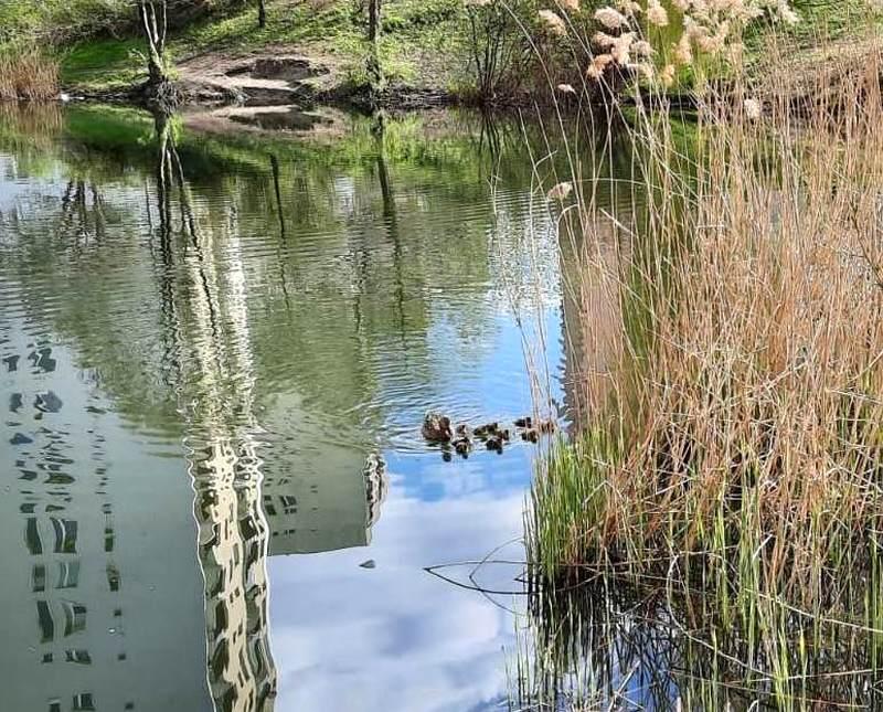 Kaczki pływają w wodzie.
