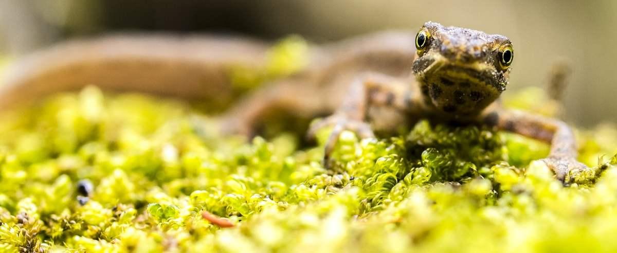 Traszka zwyczajna - płaz, który przypomina z wyglądu jaszczurkę