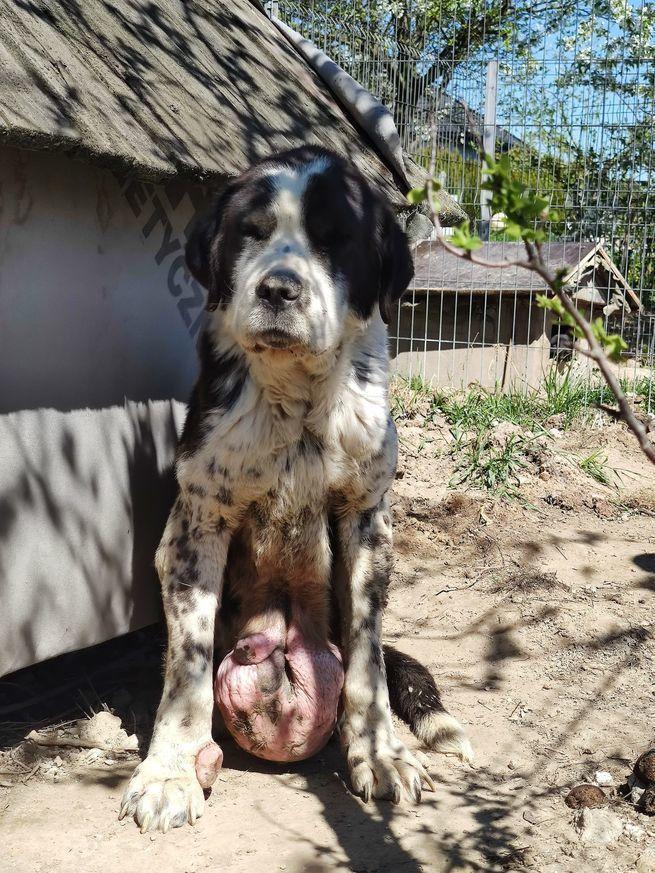 Pies z guzem