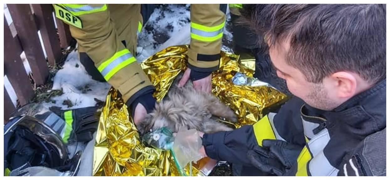 Reanimacja psa uratowanego z pożaru