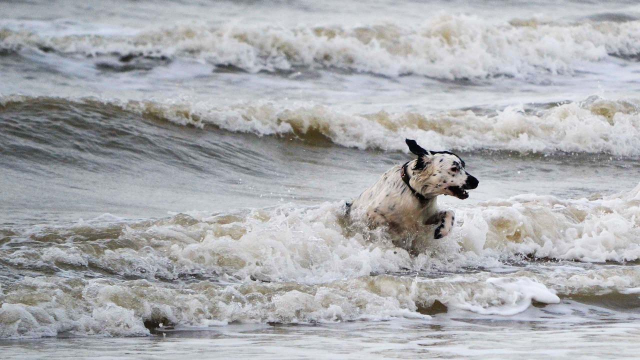 Wyżeł fryzyjski – wszechstronny pies z Holandii