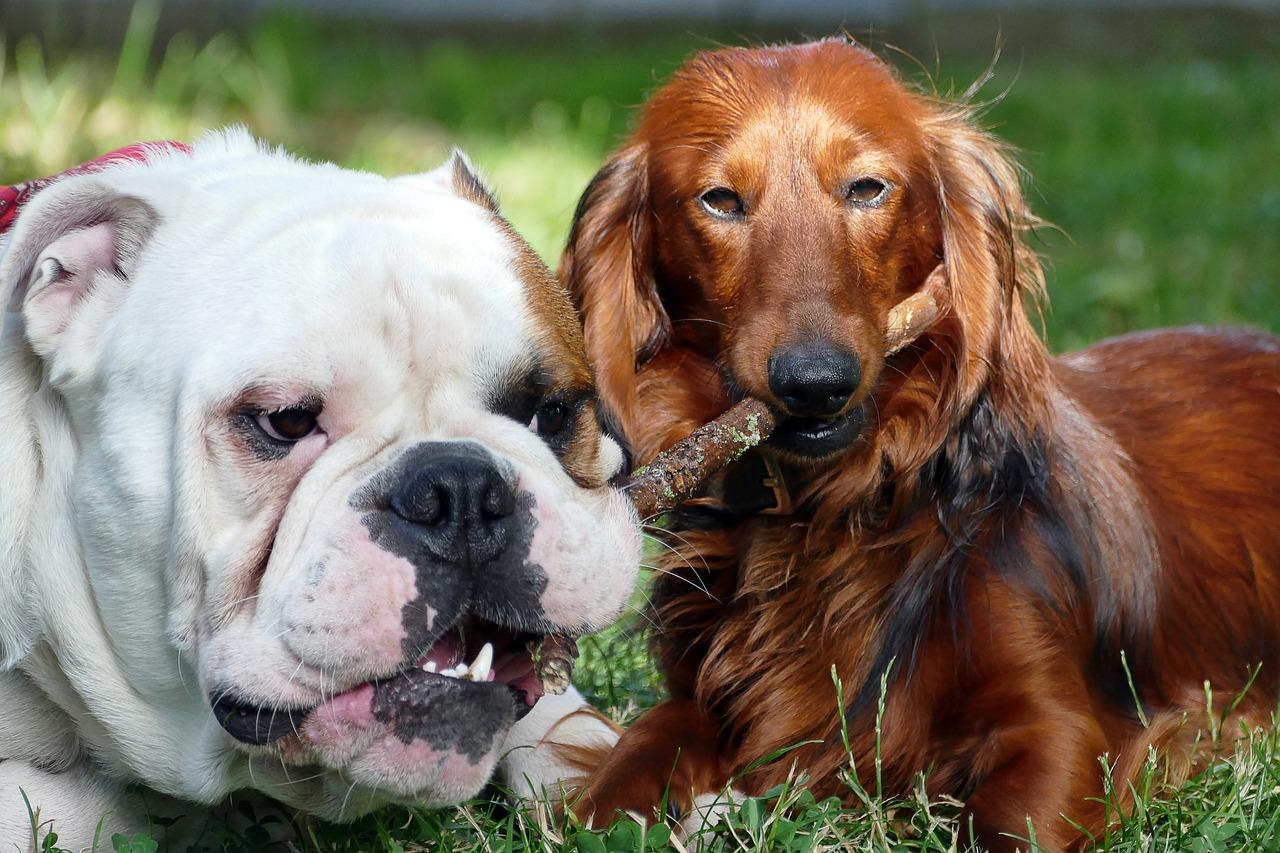 Angielskie rasy psów – najpopularniejsze rasy pochodzące z Anglii