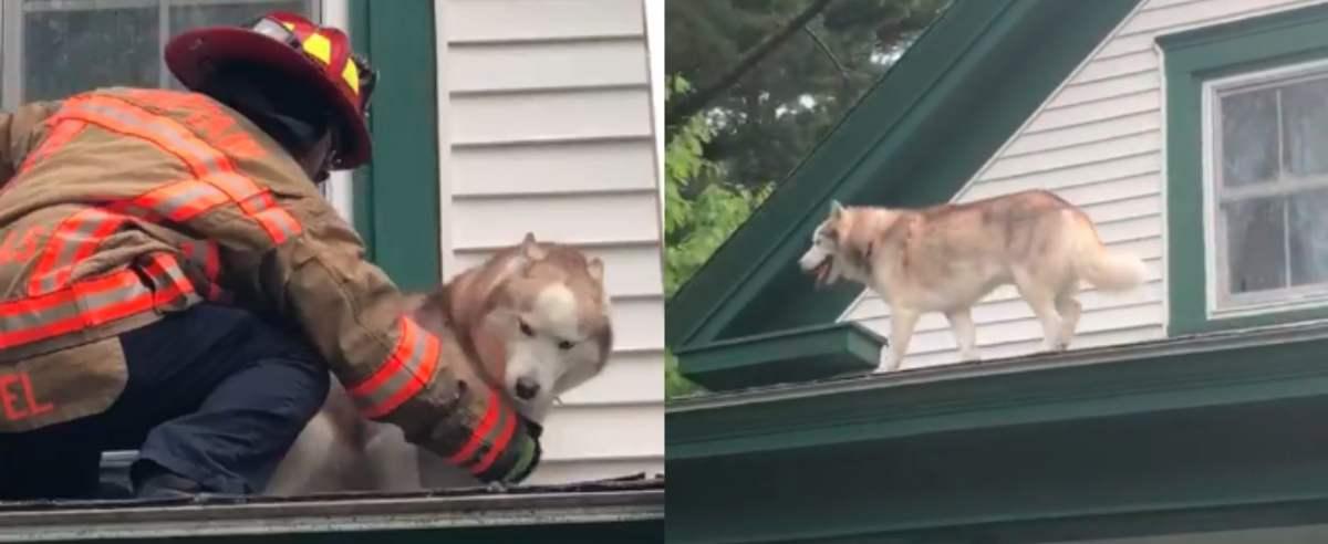 Husky na dachu ze strażakiem