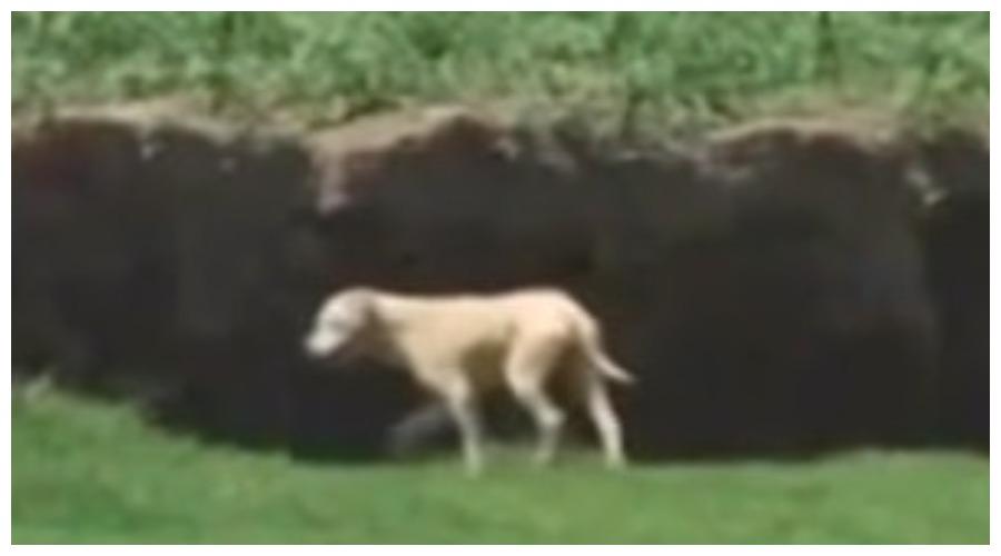 pies nad przepaścią