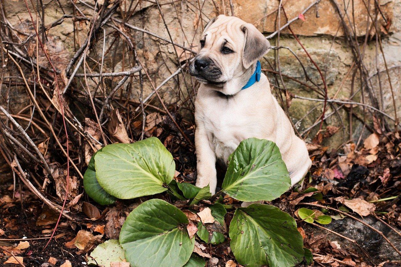 Dog z Majorki – pies walczący z bykami
