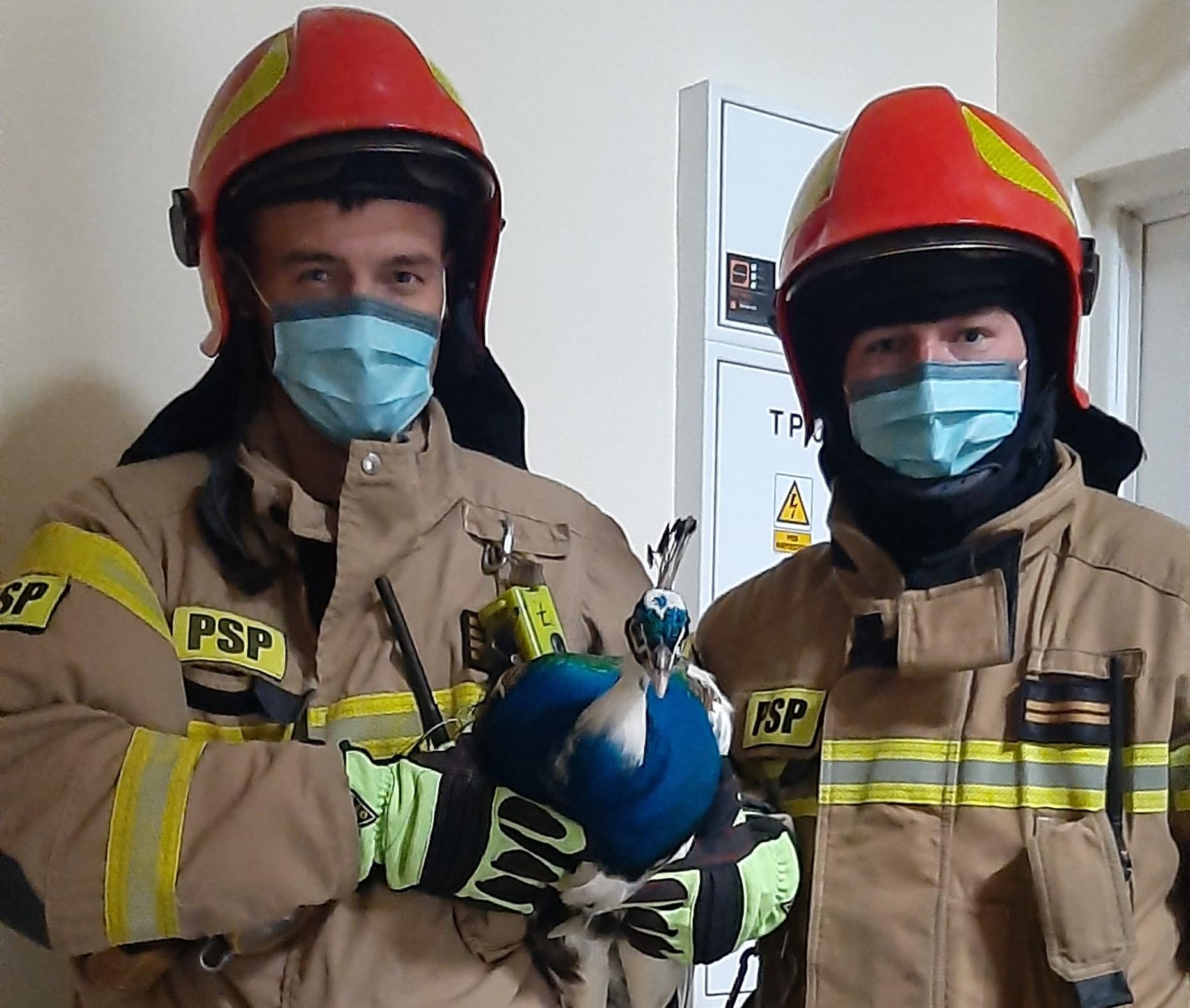 Strażacy z pawiem