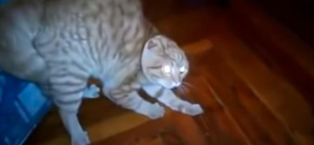 kot boi się