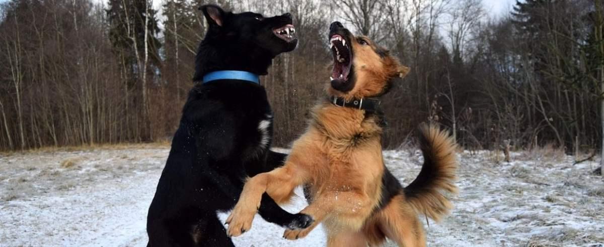 Zdjęcie podglądowe - Agresywne psy