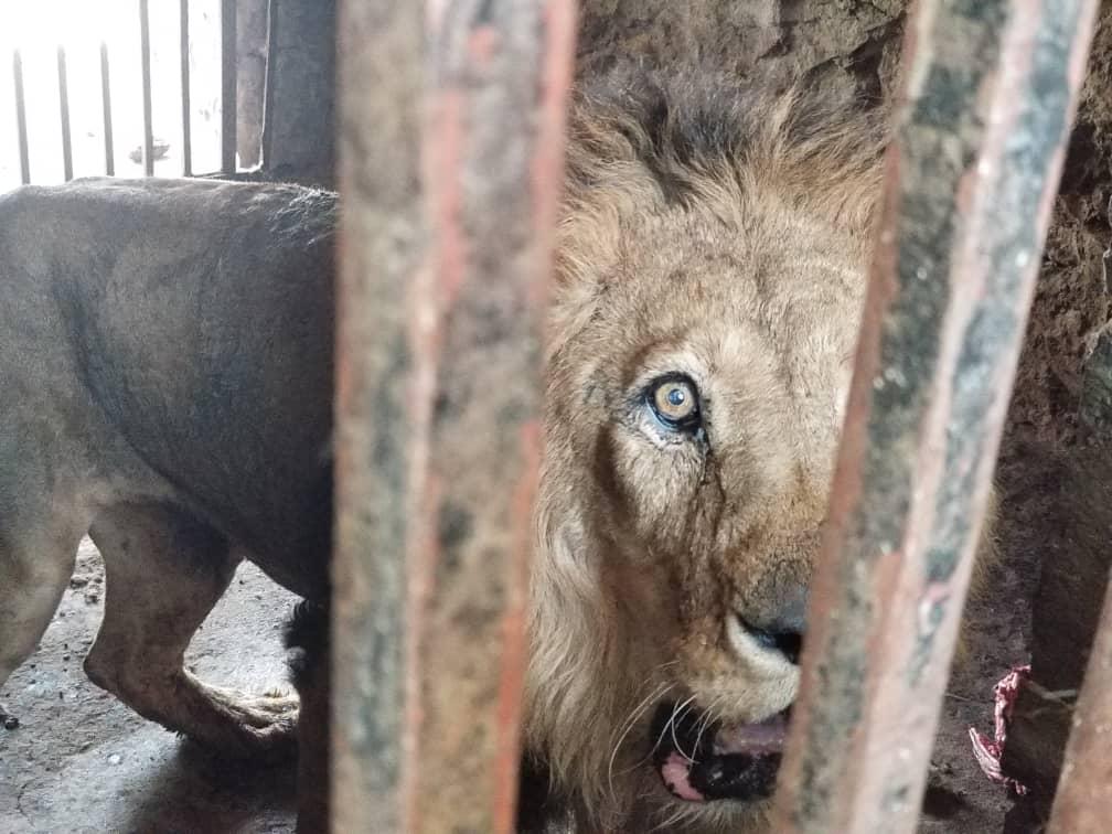 Lwy z jemeńskiego ZOO