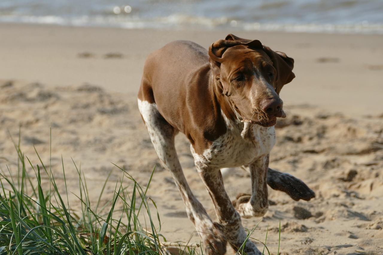 Wyżeł włoski krótkowłosy – pies arystokrata z Włoch