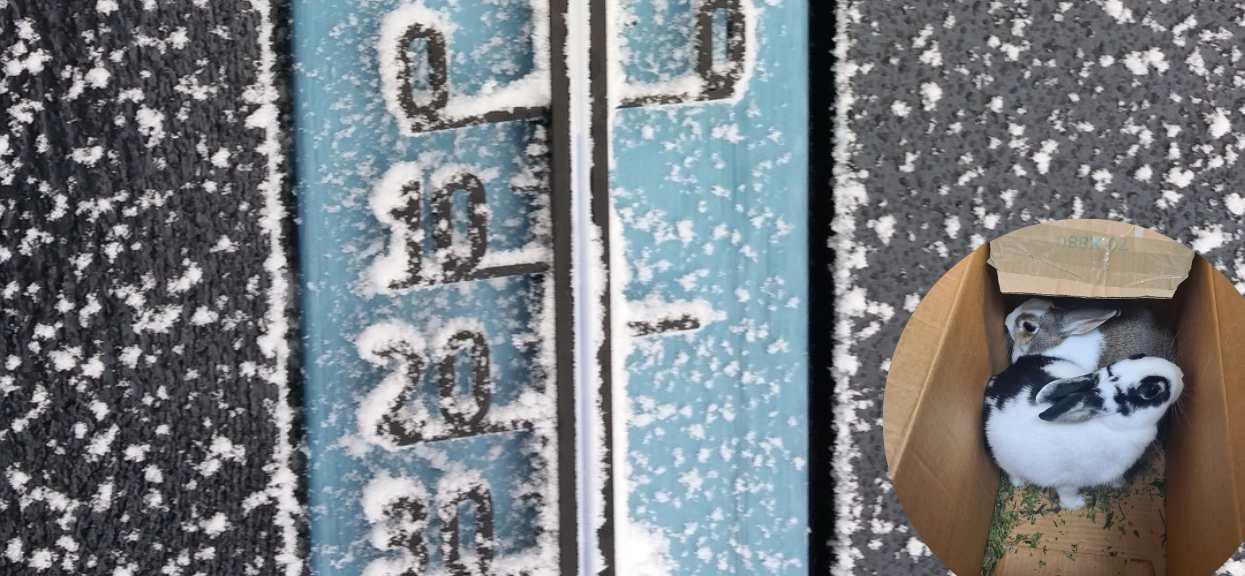 Króliki w zimie