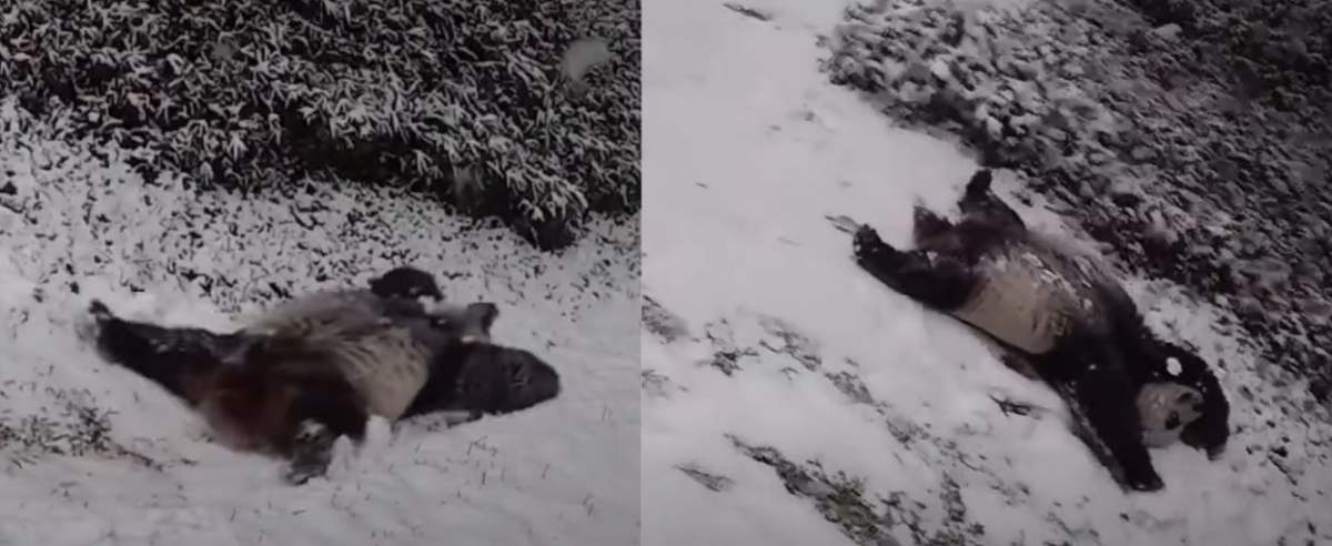 Panda bawi się na śniegu