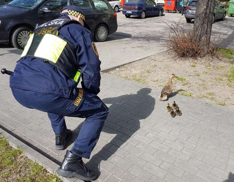 Strażnik ratuje małe kaczki