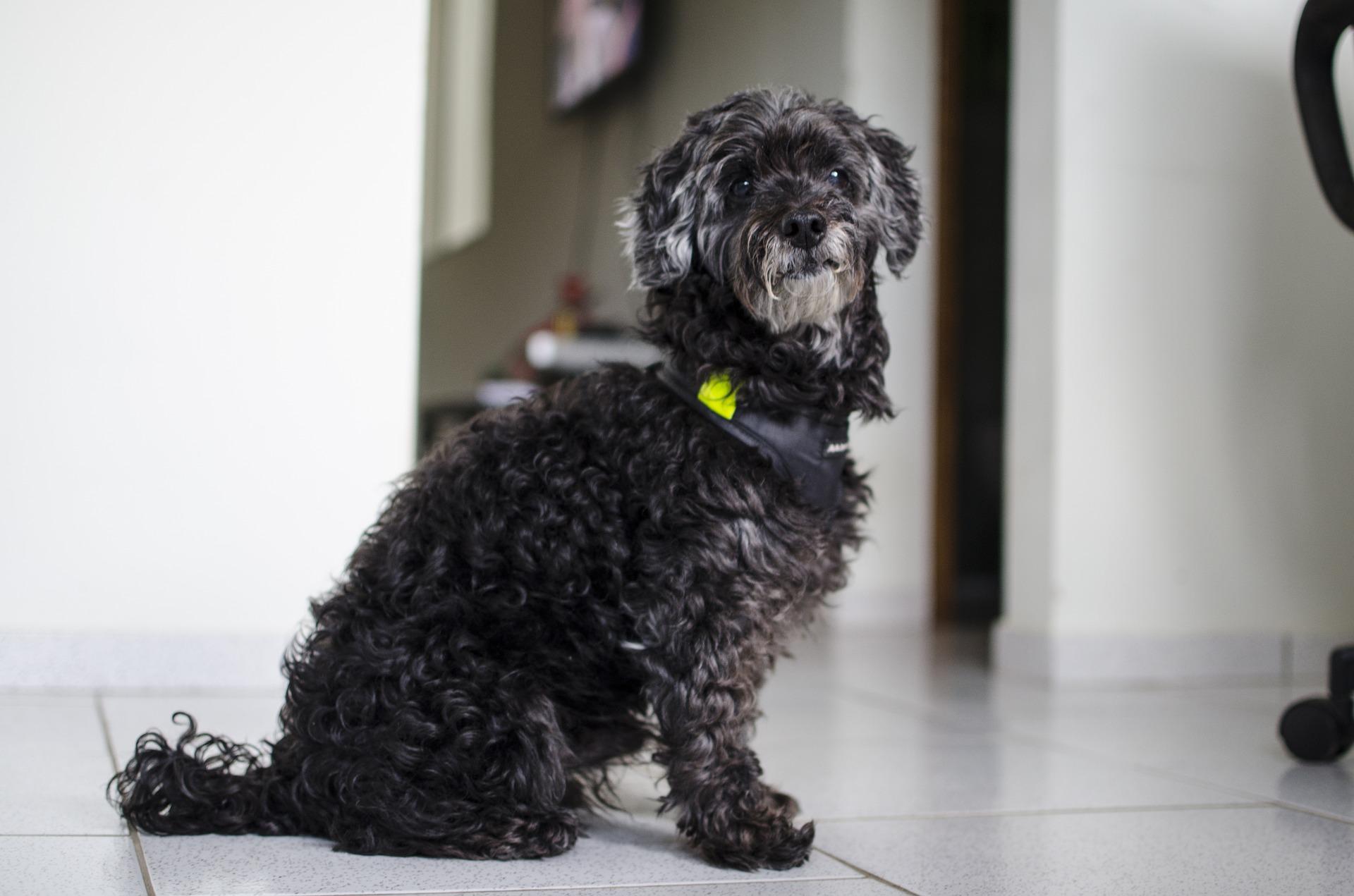 Wiek psa: nadal smarkacz czy już szacowny pan?