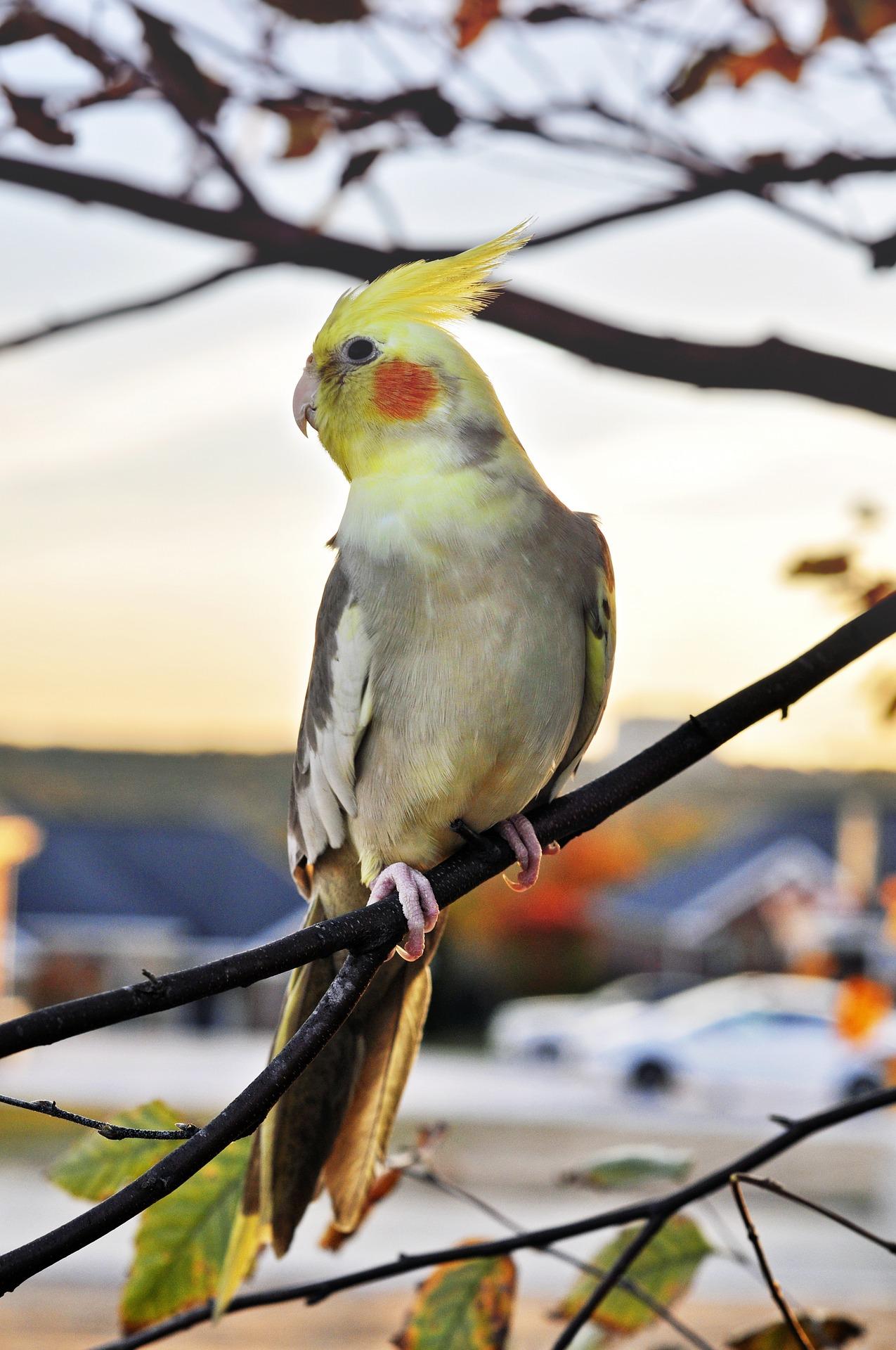"""Nimfa: """"zawstydzona"""" papuga z Australii"""