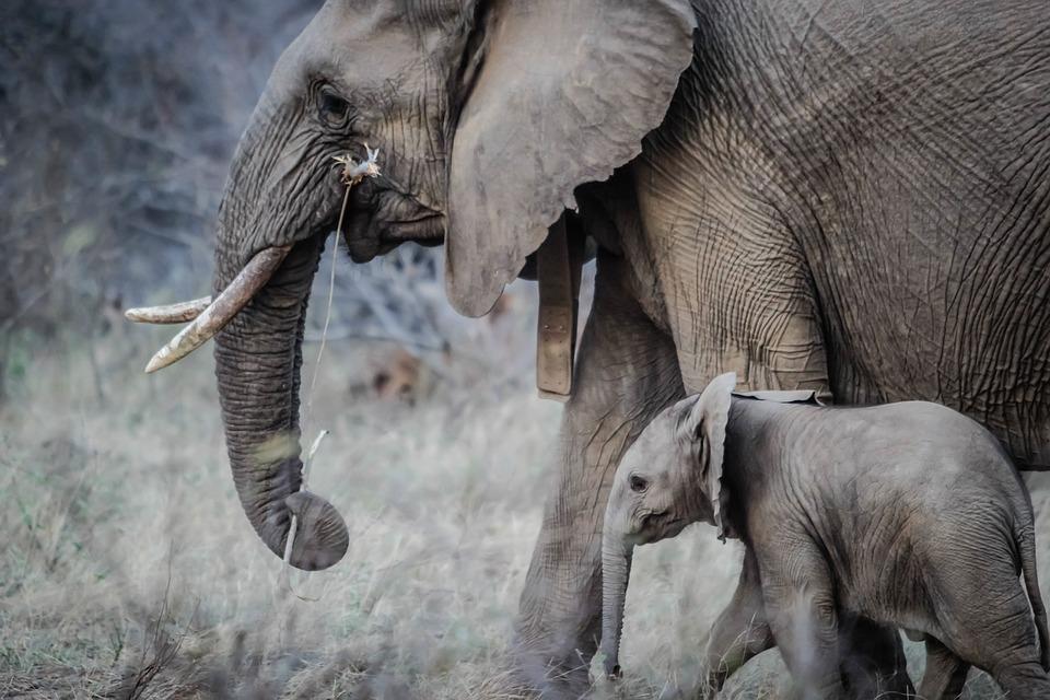 słoń i słoniątko