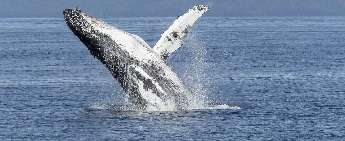 Humbak - olbrzymi śpiewający morski ssak