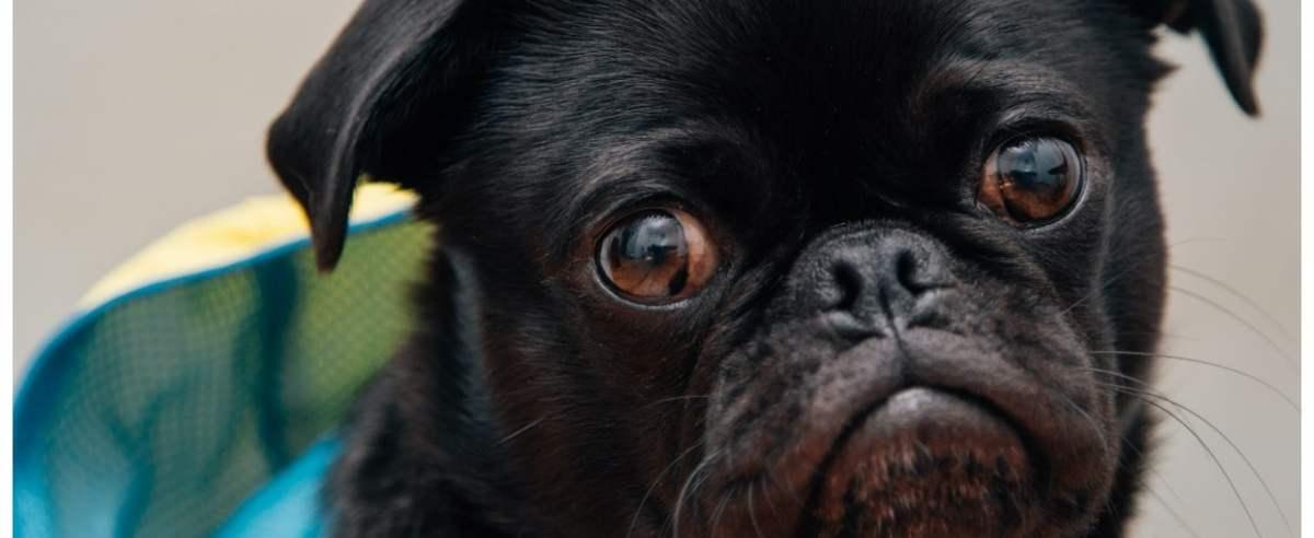 Psie oczy