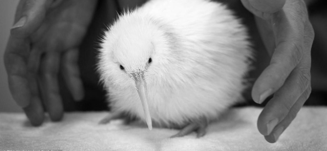 Biały ptak kiwi w dłoniach