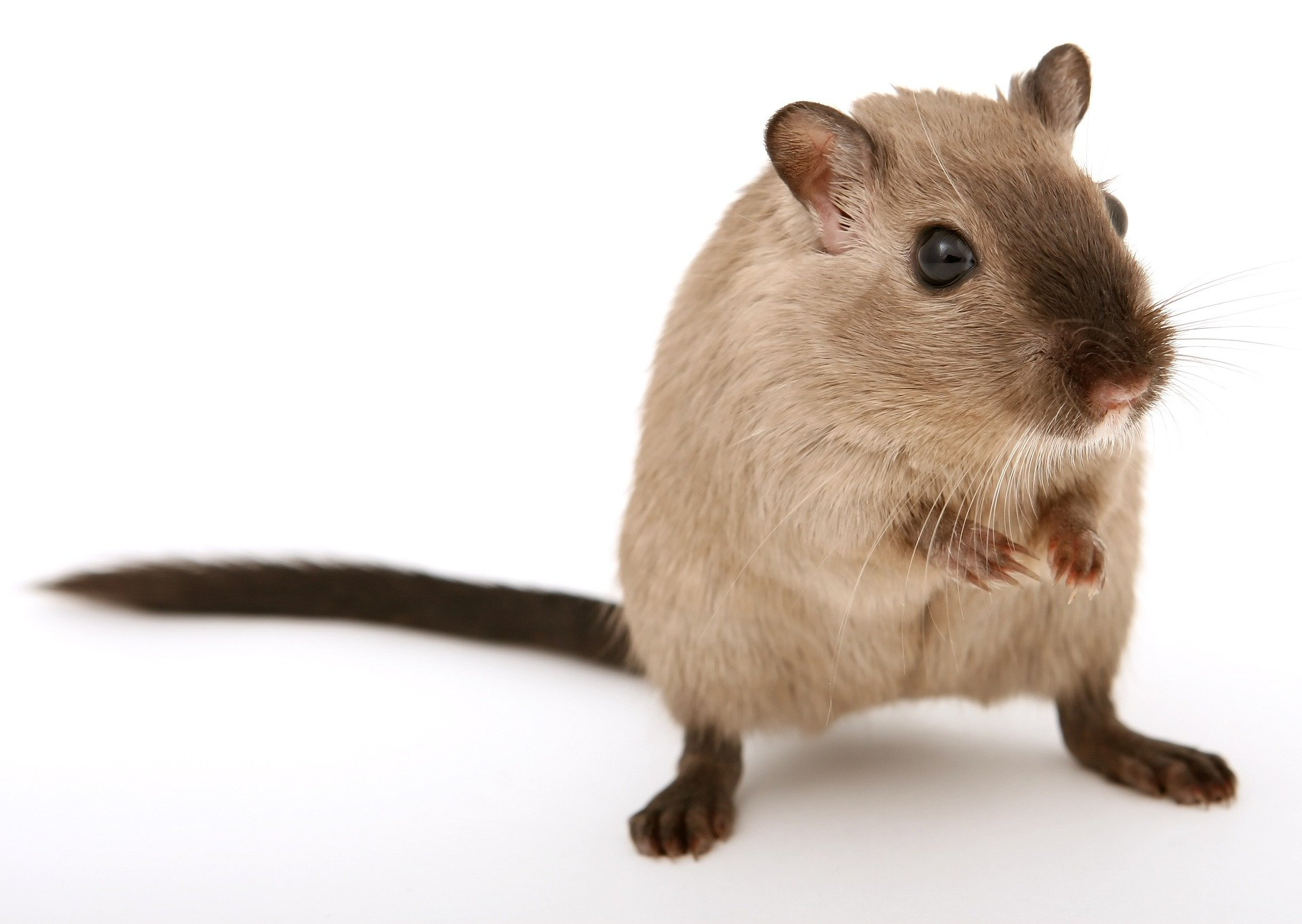 Myszoskoczek: kopacz z mongolskich stepów