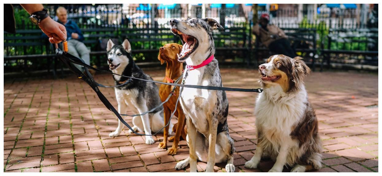 Psy wyprowadzane na spacer