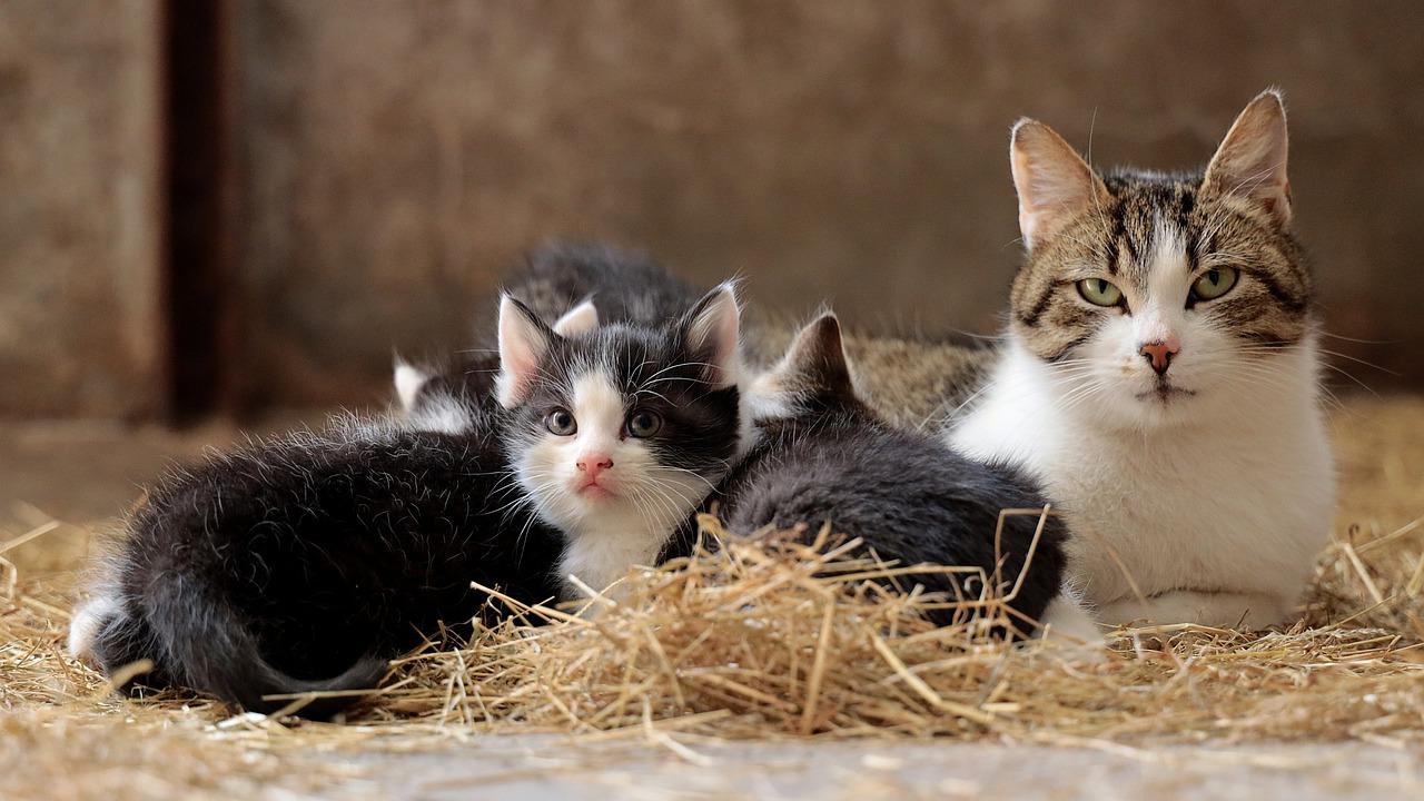 Poród u kota – wszystko co musisz o nim wiedzieć