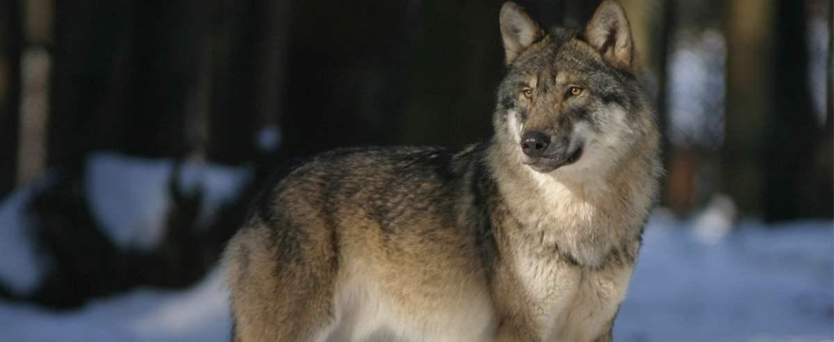 Wilki, które zaatakowały pilarzy, zostały odstrzelone