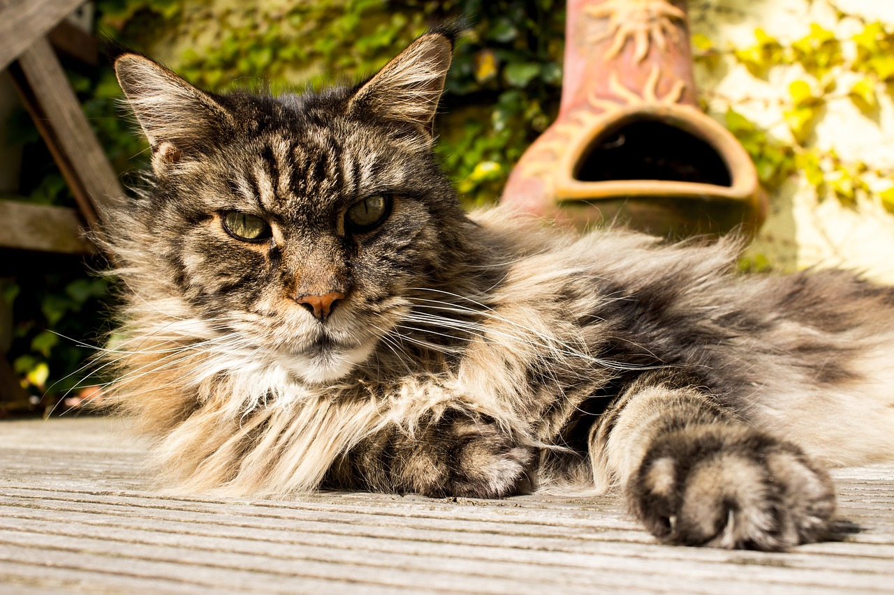 Koty długowłose – poznaj najwspanialszych przedstawicieli