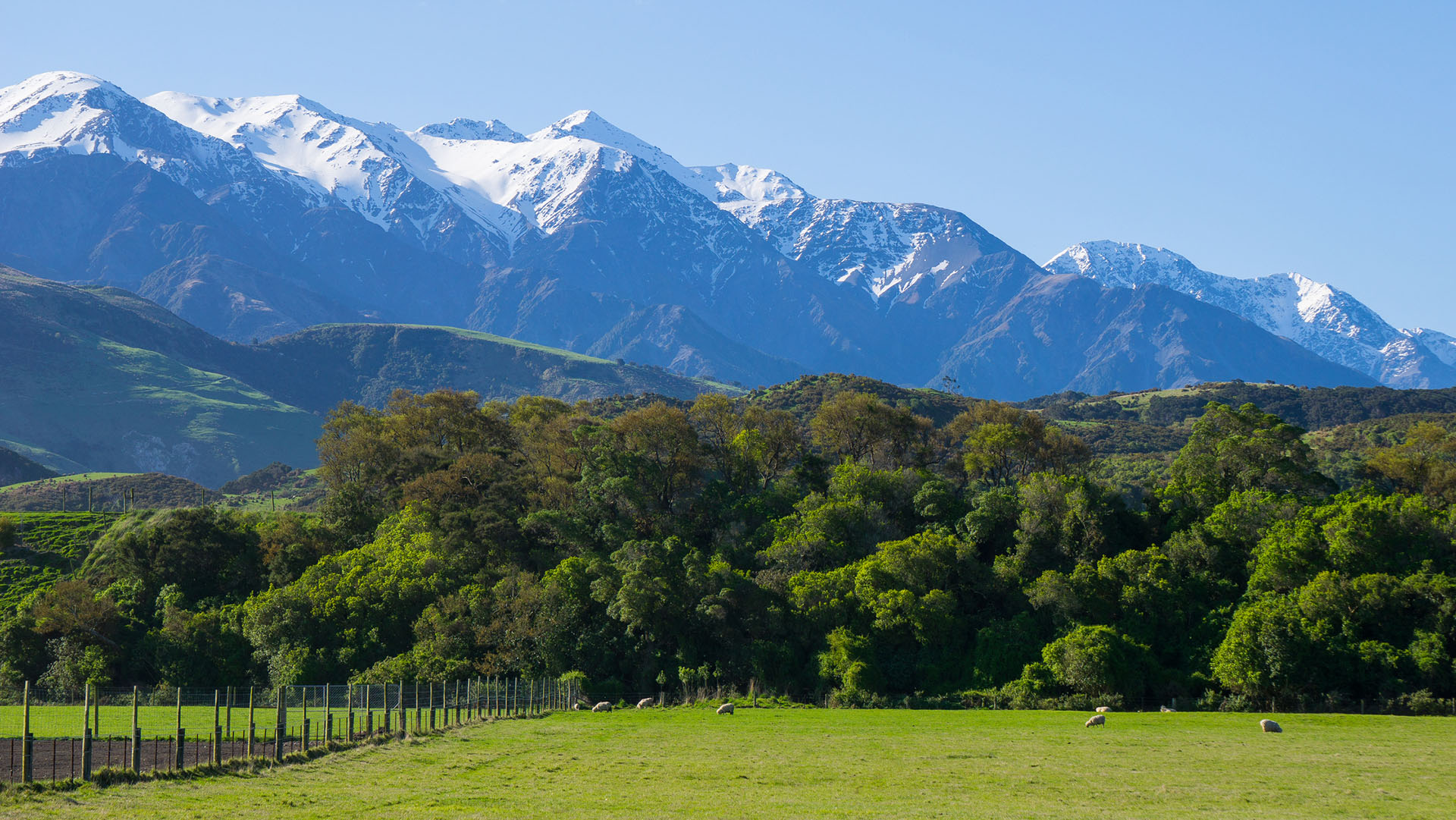 Sheep farm with Kaikoura Mountain in the background