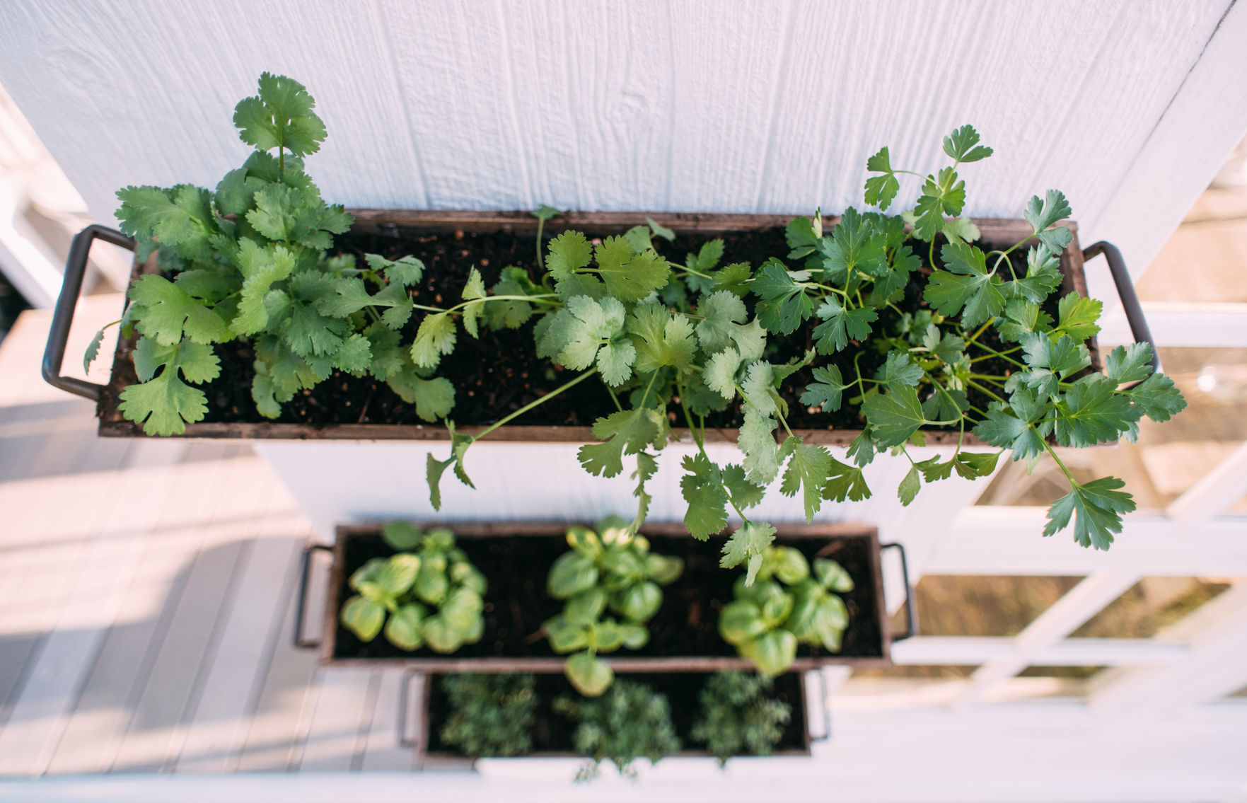 Fresh herbs in planter boxes hanging on the garden shed wall