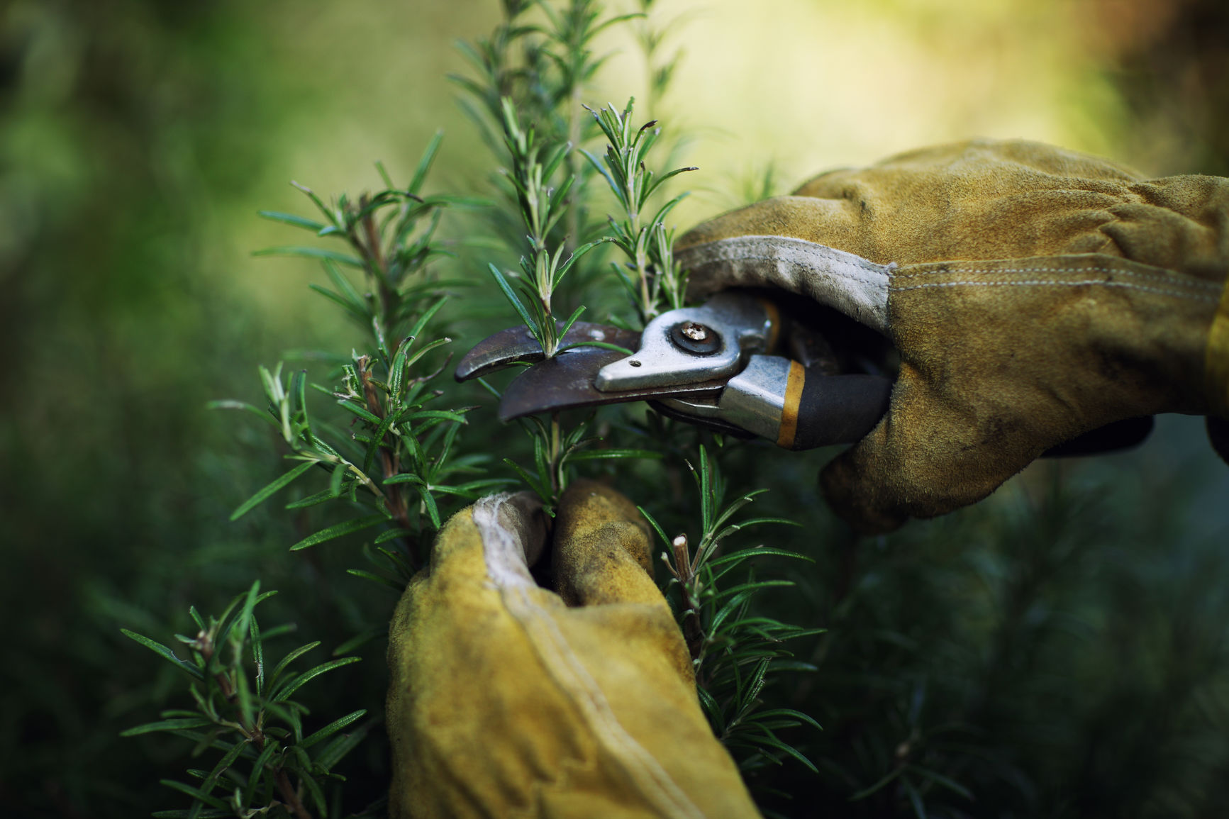 Close up shot of a gardeners hands pruning a rosemary bush.