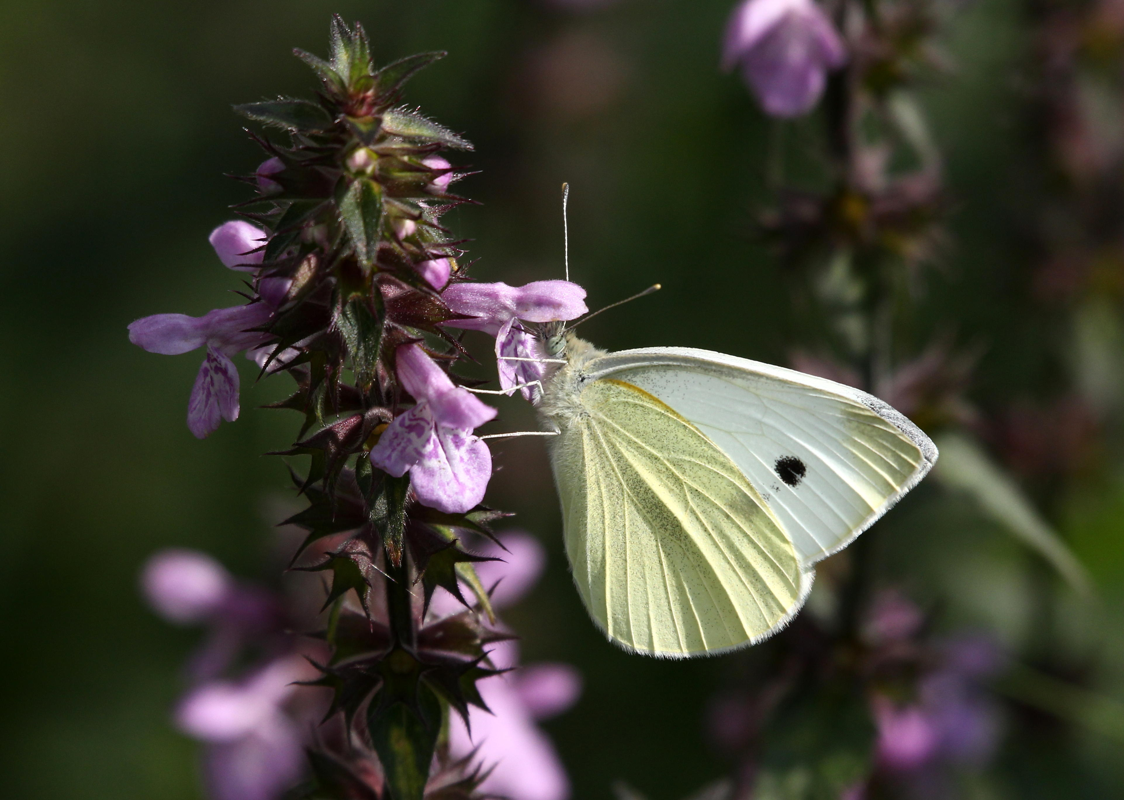 FRPHG0 European Small Cabbage White butterfly (Pieris Rapae) feeding on a purple flower