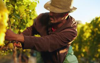 Worker cutting grapes in vineyard