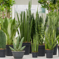 Attractive discounts on Sansevierias