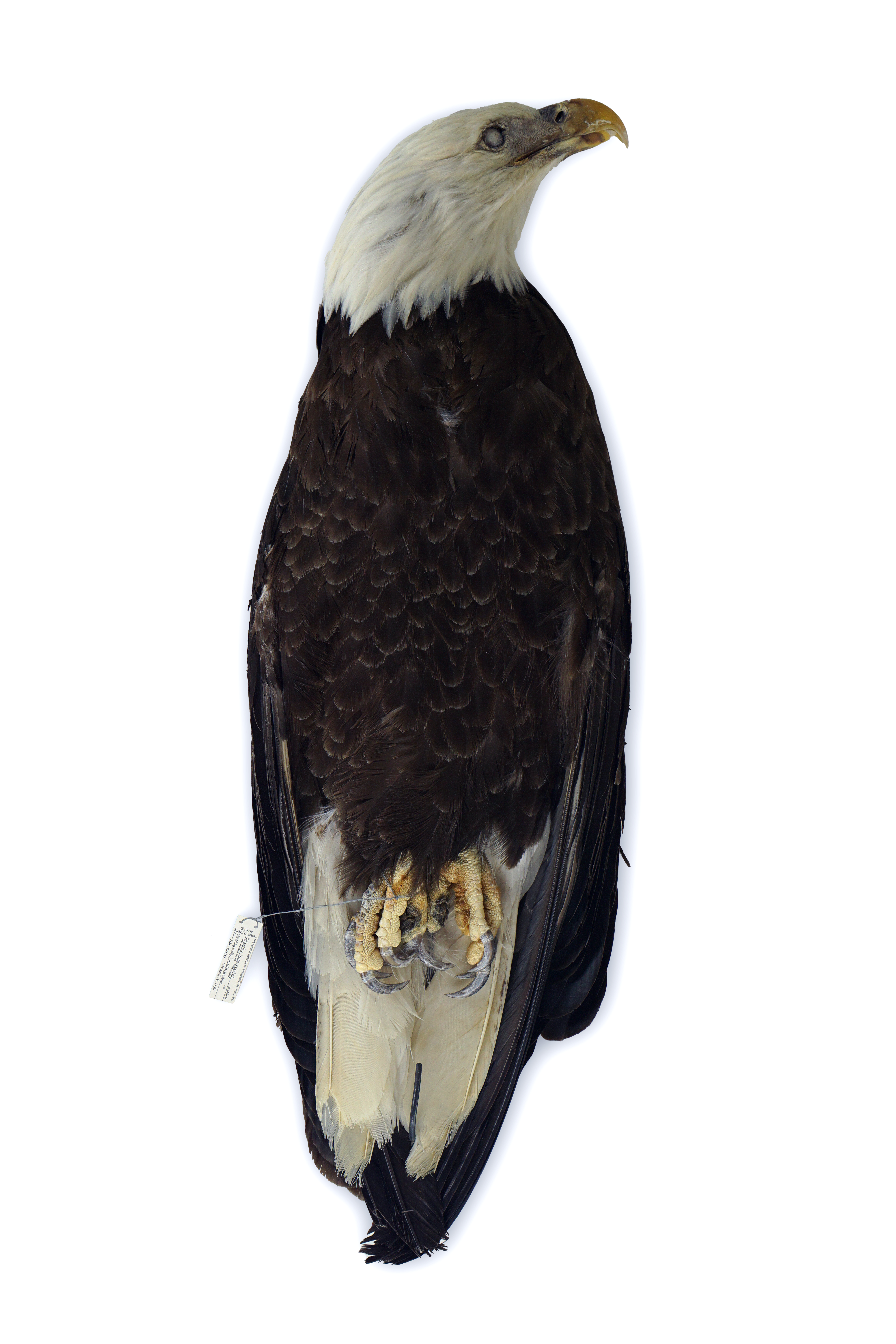 Study skin bald eagle on a white background