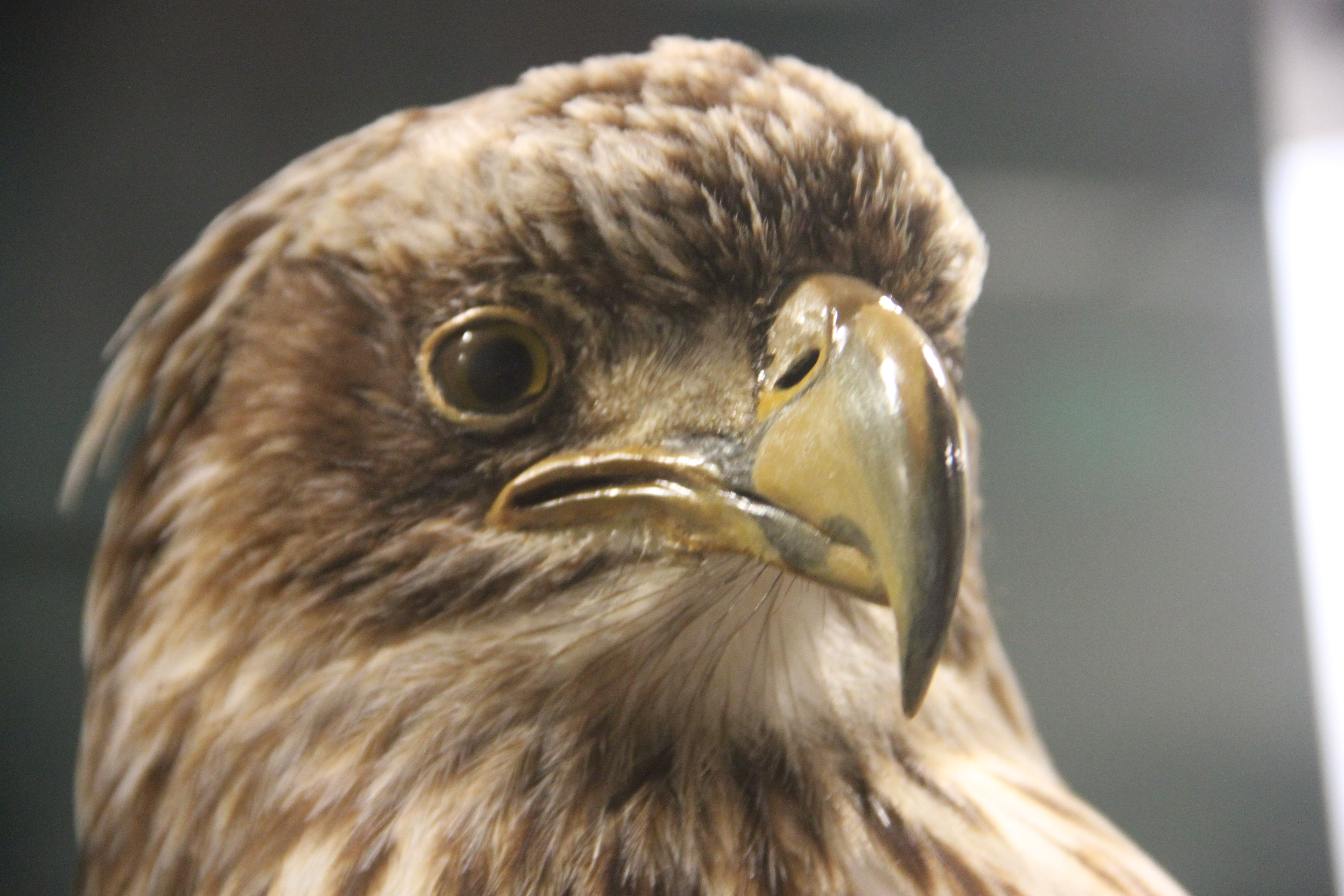 Close up of a brown and ivory taxidermied bald eagle
