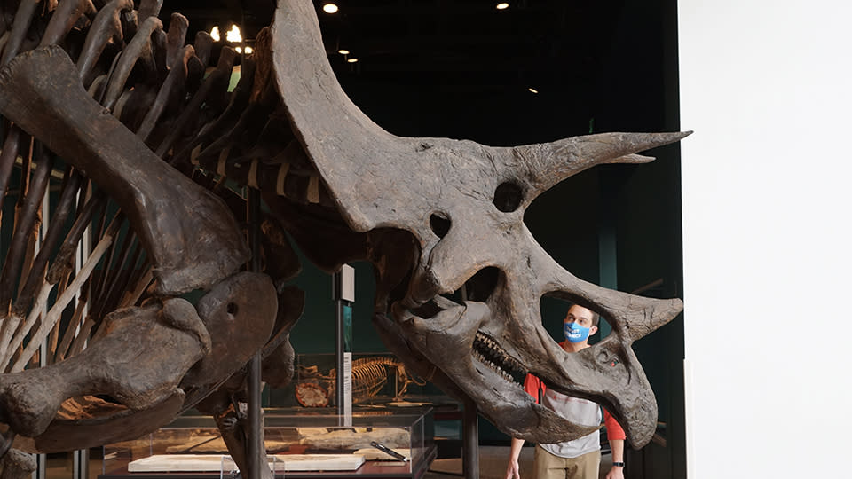 Dr. Alex Hastings peers through the skull of a triceratops.