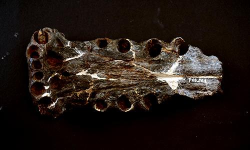 Terminonaris robusta fossil