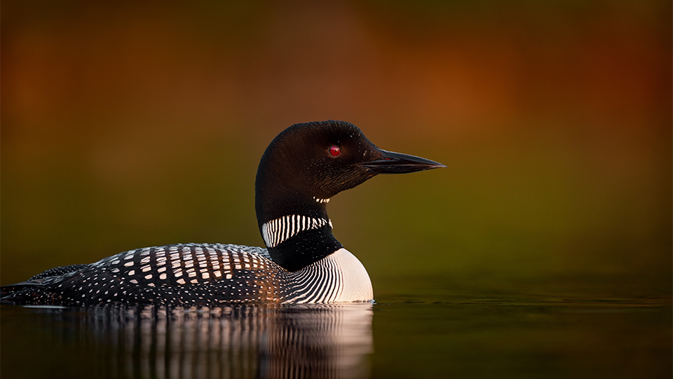 Common loon floating in water.