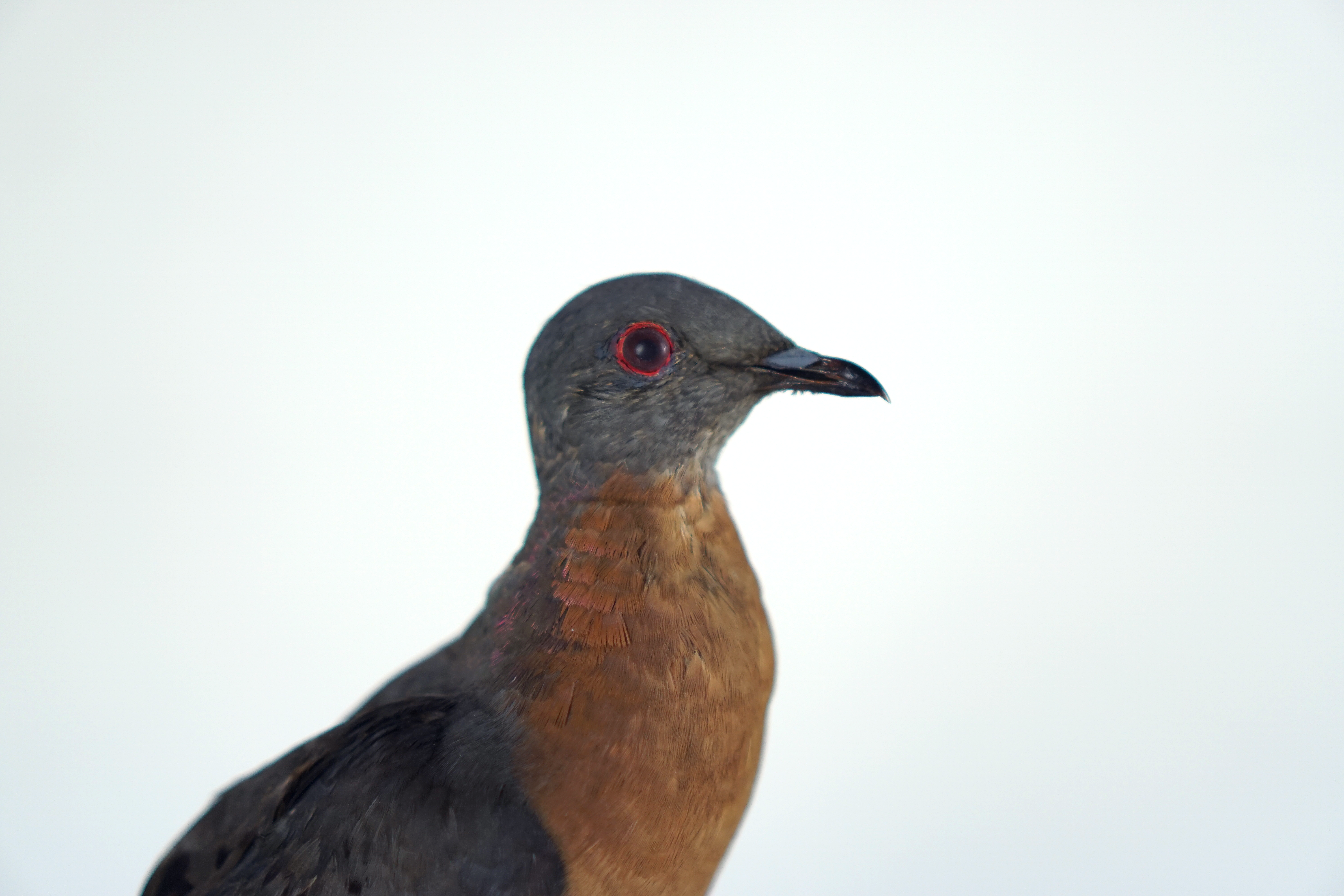 Close up of a taxidermy passenger pigeon.