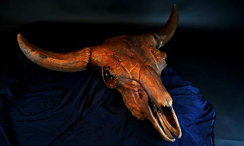 Bison antiquus fossil