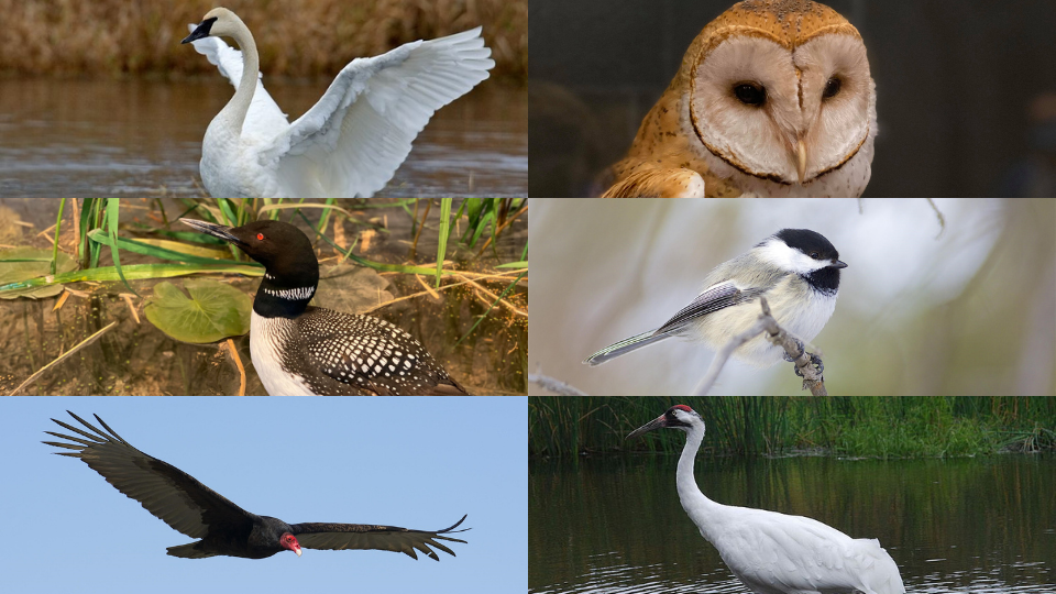 Several Minnesota birds, including the loon, chickadee, barn owl, and more.
