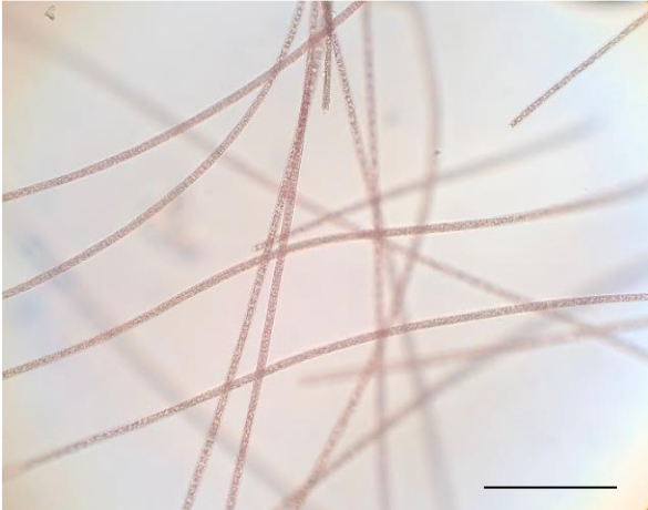 Microscope image of a thin, red cyanobacterium