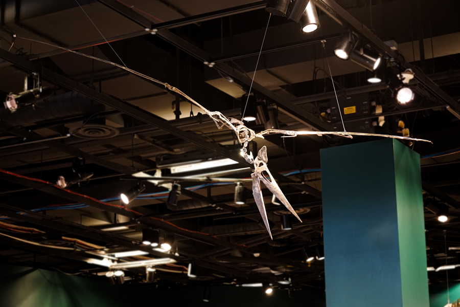 Pteranodon fossil flying at the Science Museum