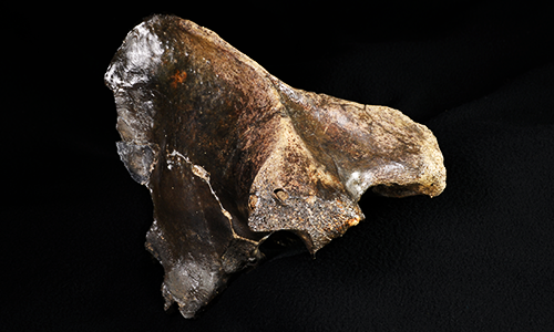 Homotherium serum (Scimitar-Toothed Cat) fossil. Image courtesy of  Illinois State Museum, Illinois Legacy Collection