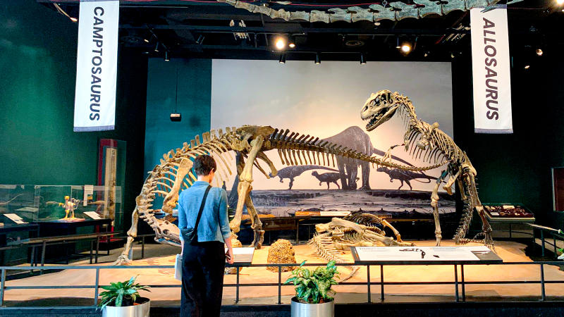 A wide shot of the dinosaur exhibit with dinosaur skeletons in the background.