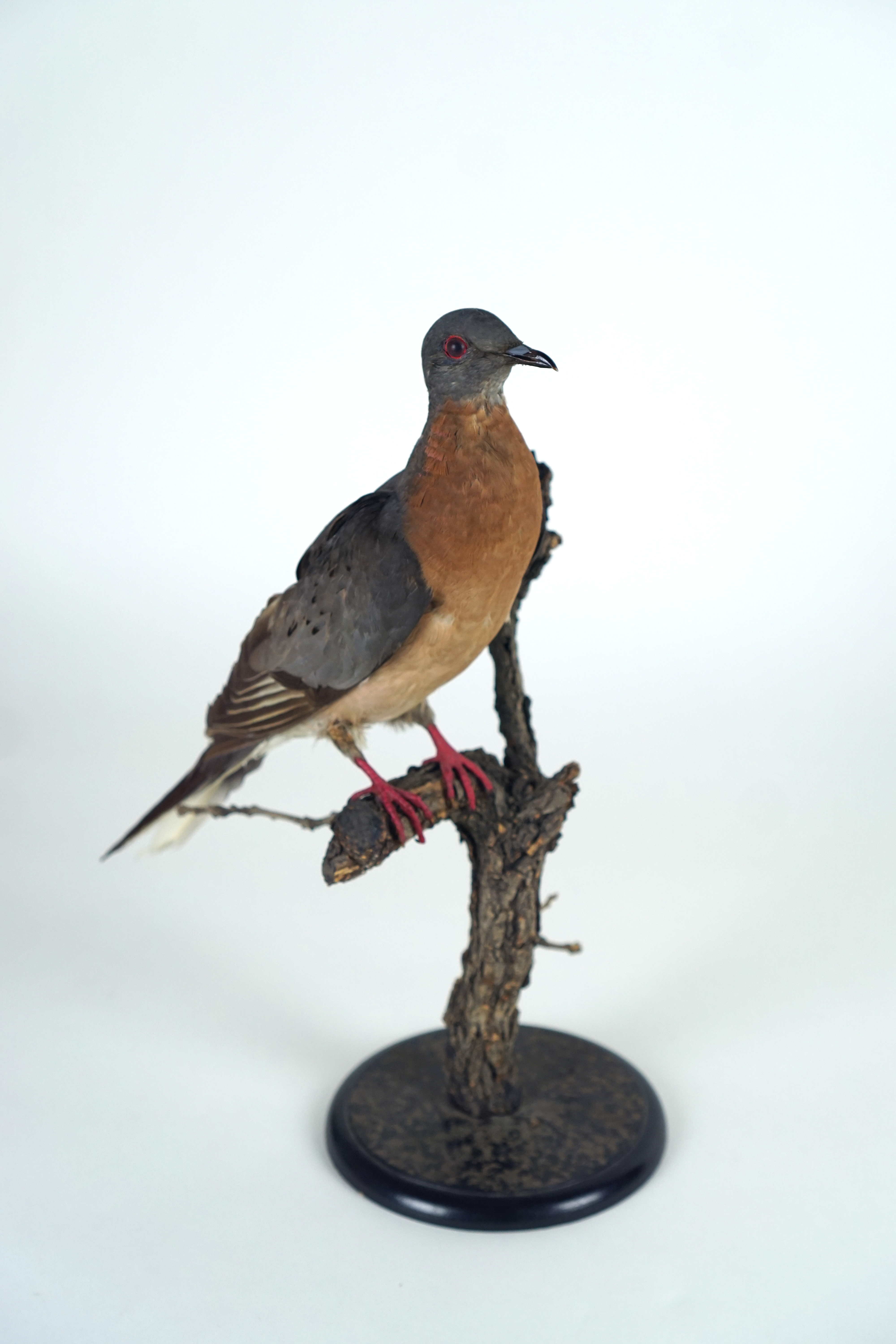 A taxidermy passenger pigeon on display.